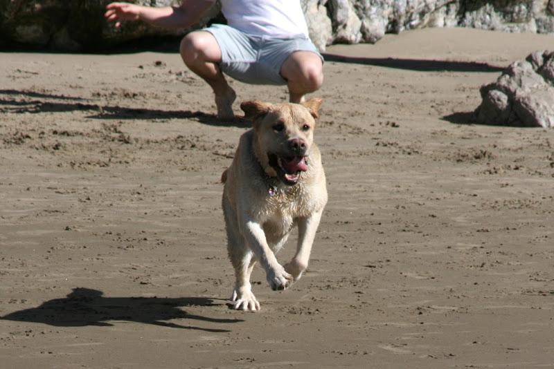 Yellow Labrador Cooper Hendrys Beach