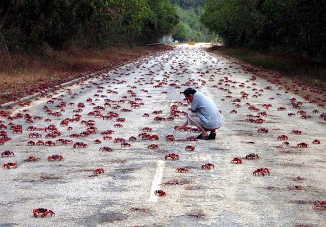 red crab migration 2%5B2%5D هجرة سرطان البحر ، حين تجد مدينتك تكسوها هذه الكائنات ، فيلم رعب على أرض الواقع