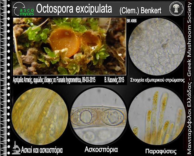 Octospora excipulata (Clem.) Benkert