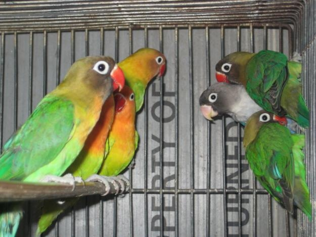 Beautiful Love Birds 7