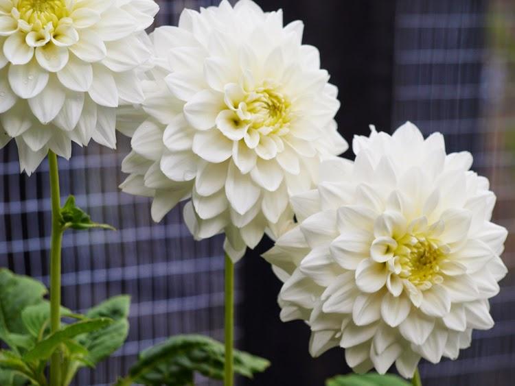 Hvide sommerblomster
