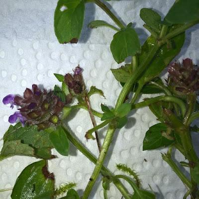 Brunelle, prunella vulgaris