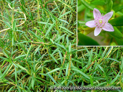 Sea Purslane (Sesuvium portulacastrum)