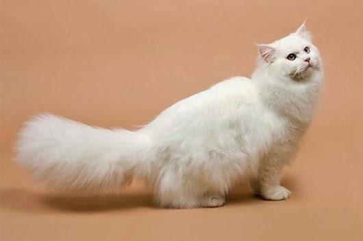 Mèo lông dài Anh