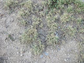 buffalo grass,