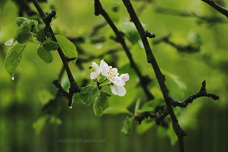 fotografia przyrodnicza, wiosna, kwiaty, wiosenne, kwitnąca jabłoń, bokeh, bokeh photography