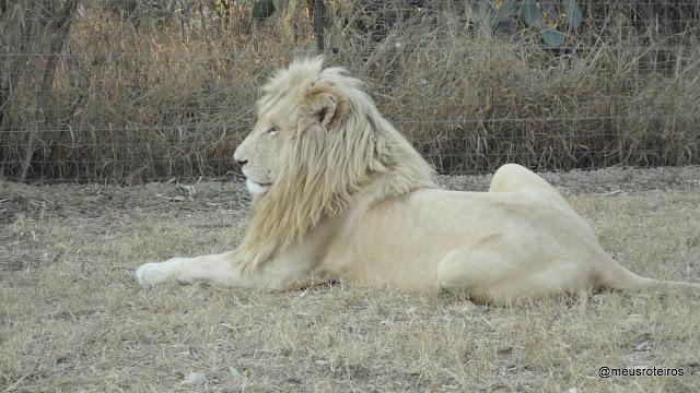 Leão branco no Lion Park - Joanesburgo