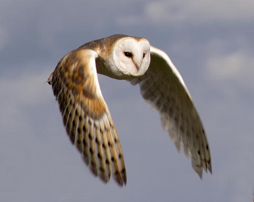 barn owls - photo #12