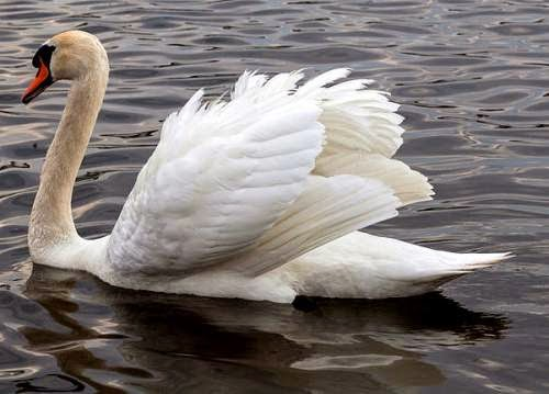 Indian birds - Mute swan - Cygnus olor