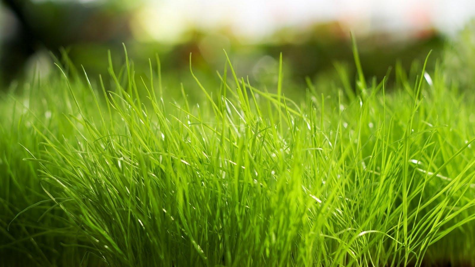 http://4.bp.blogspot.com/-Xt4JpzahN3E/TnPRCQkh7cI/AAAAAAAAAdo/4CYApMIe19g/s1600/Macro+Green+Grass+Bright+-+PremiumWallpapersHD.Blogspot.Com.jpg