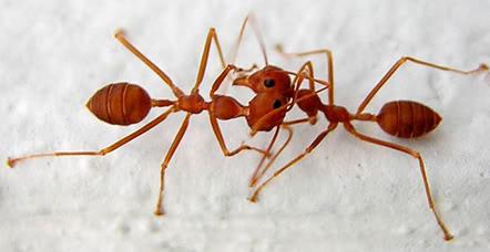 Kenapa Semut Berhenti Sejenak Bila Bertemu Semut Yang Lain?