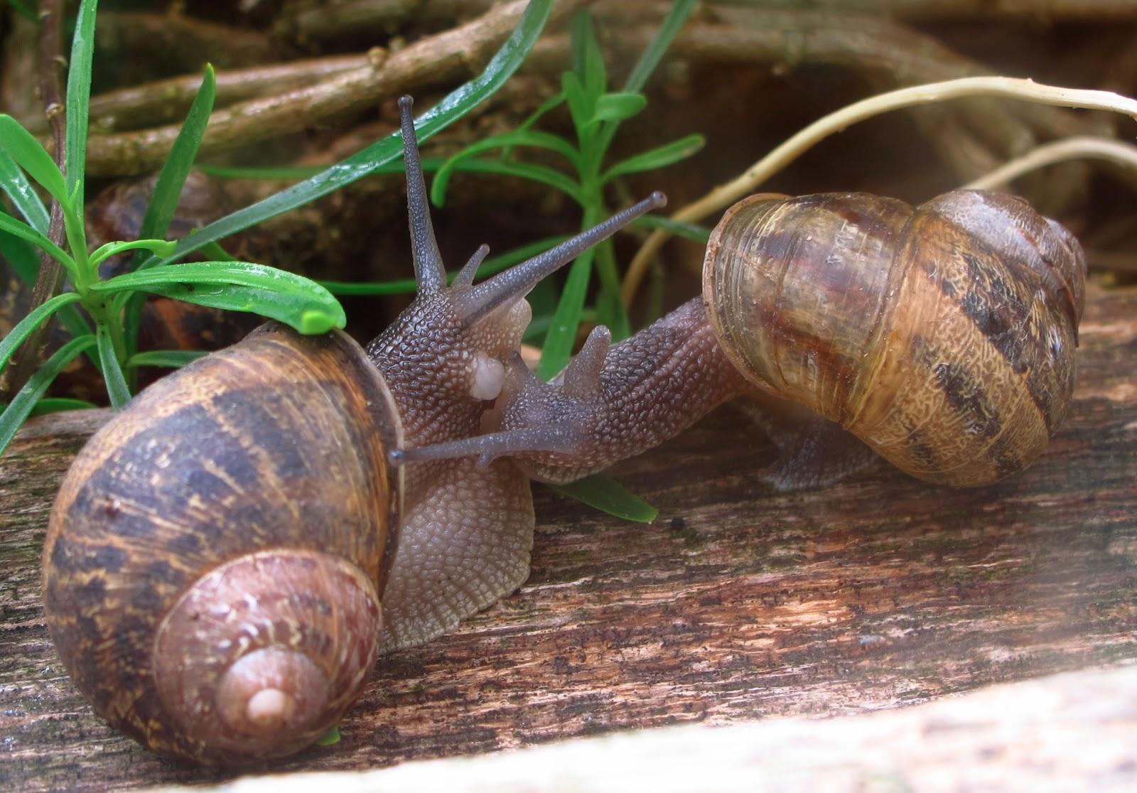 how to eat garden snails