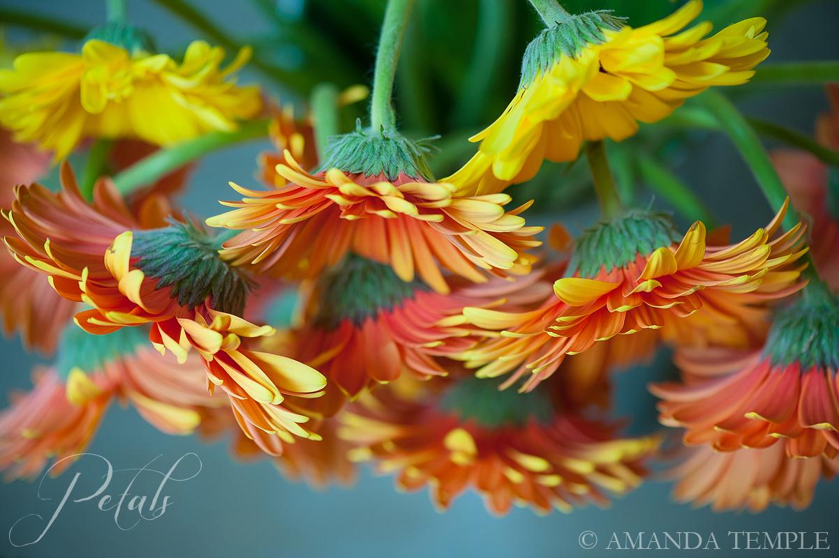 Petals Bermuda Florist Gotta Get A Gerbera