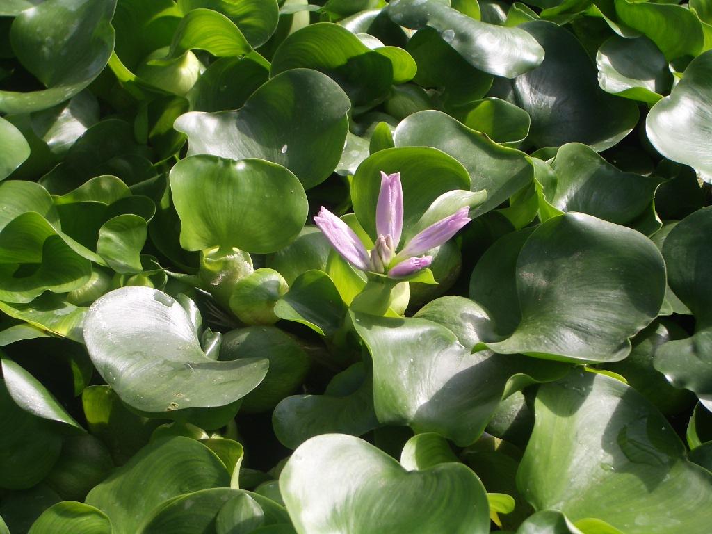Water hyacinth for Ornamental pond plants