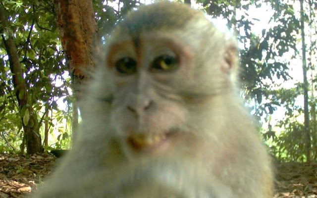Monkey discovers hidden camera in Borneo, monkey smiling to hidden camera, funny monkey