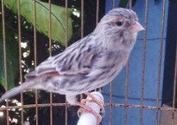 Burung Kenari / Canary Bird