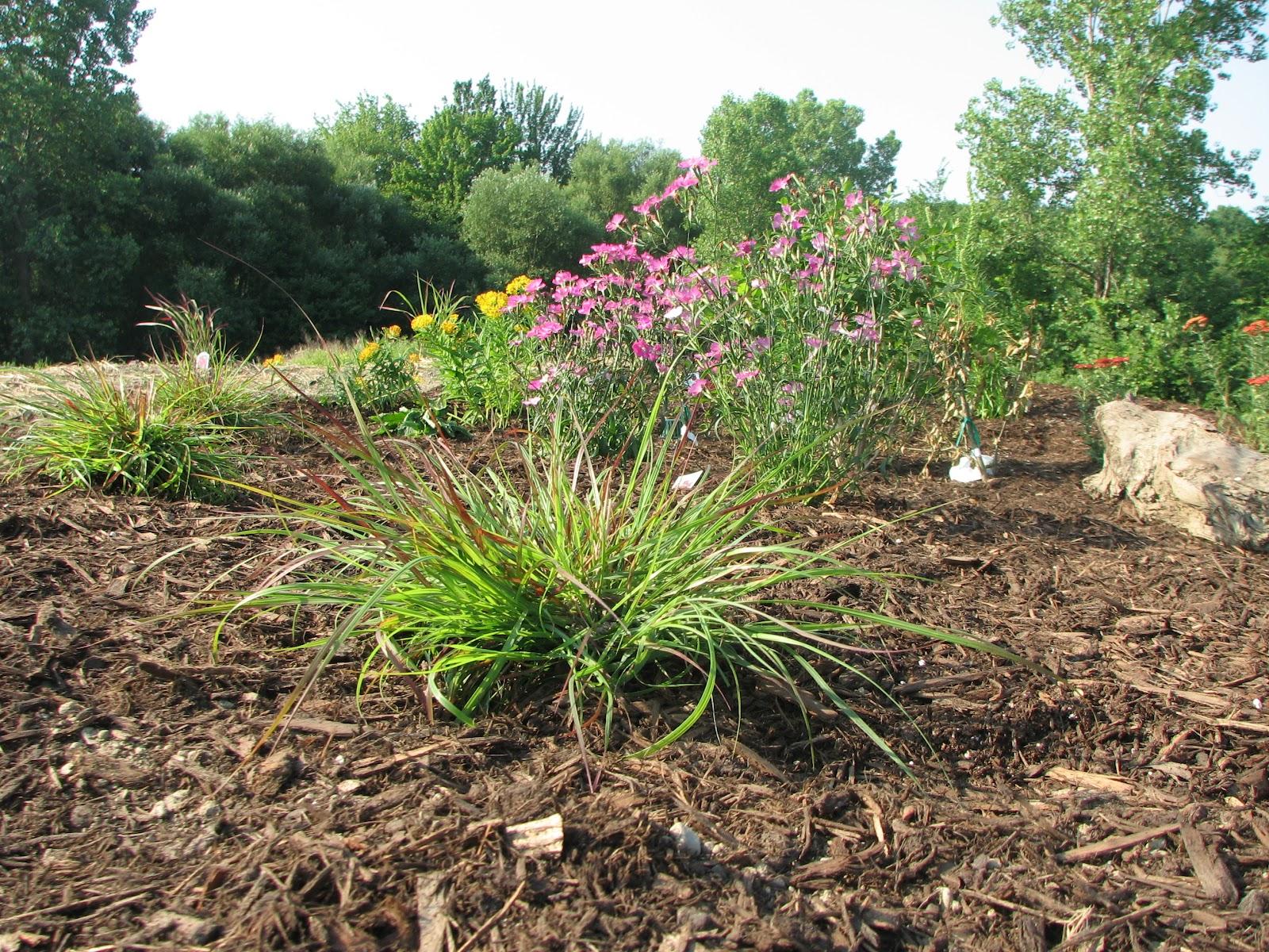 Headwaters park rain garden part ii for Drought resistant grass crossword clue