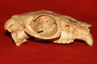 craneo de Paedotherium