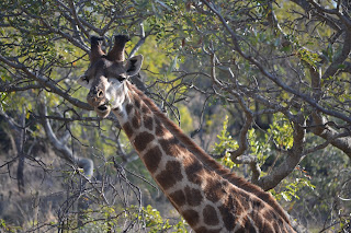 Giraffe eating at Mabula Game Reserve