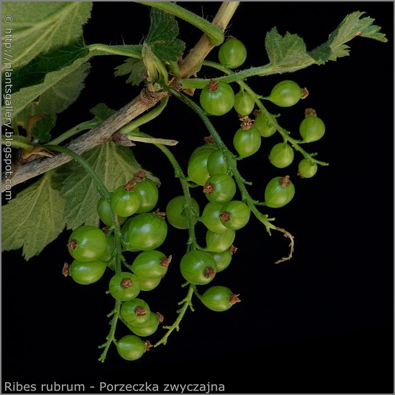Ribes rubrum young fruits - Porzeczka zwyczajna młode owoce