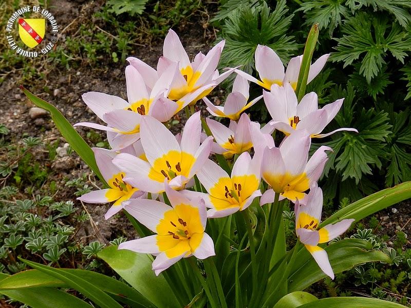 VILLERS-LES-NANCY (54) : Le jardin botanique du Montet-Alchemille de Hope
