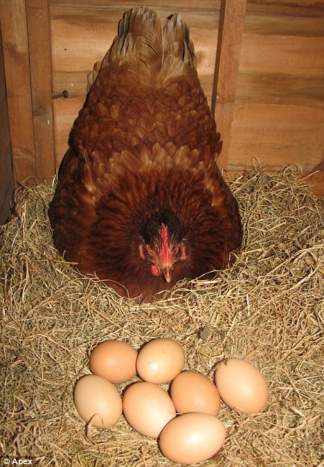 Agar Ayam Banyak Bertelur! | Rumah Belajar