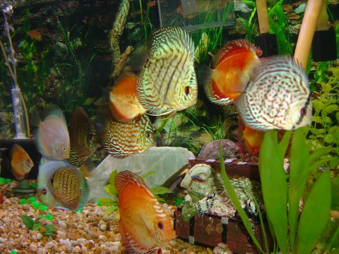 Knowing How To Care For Discus Fish