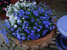 Blue and White Lobelia - annual