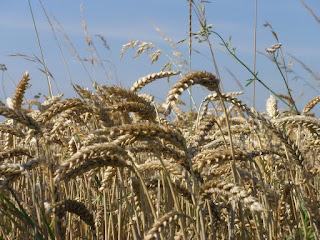 trigo Francia