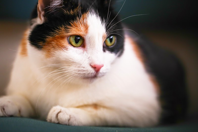 A gorgeous but overweight black calico cat laying down