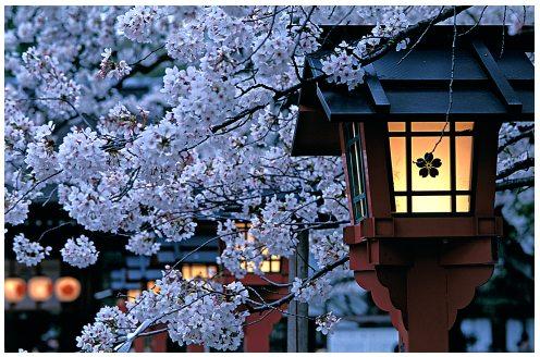 Blog Permai Bunga Sakura Cherry Blossoms