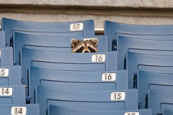 Funny animals of the week - 21 February 2014 (40 pics), raccoon sits on stadium bench