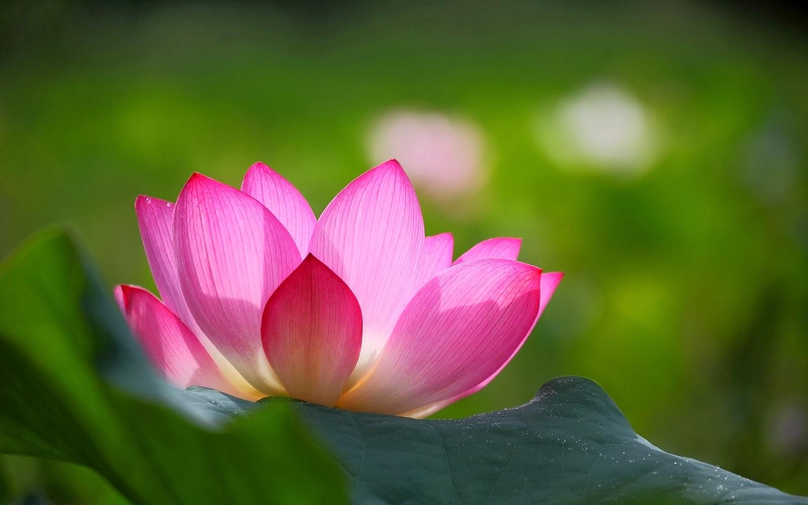 Imagenes de Flores de Loto y Lirios de Agua