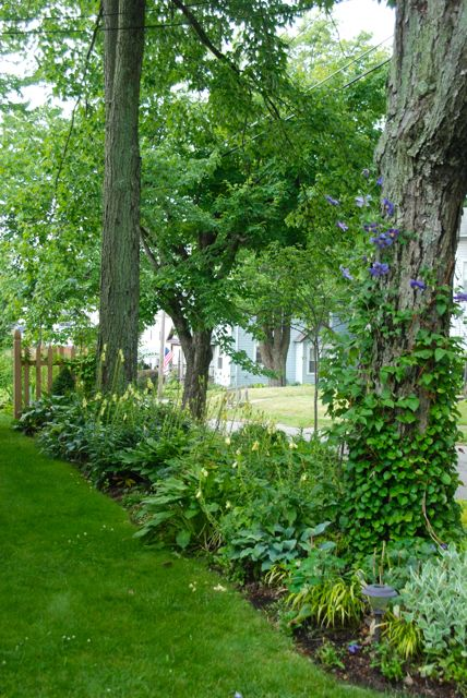 Maple tree with Clematis 'Perle d'Azur'climbing right up and in bloom with the yellow foxgloves (Digitalis grandiflora).