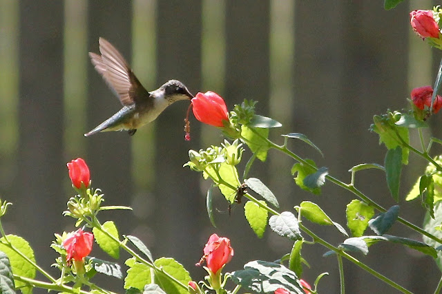 Ruby-throated Hummingbird and Turk's Cap