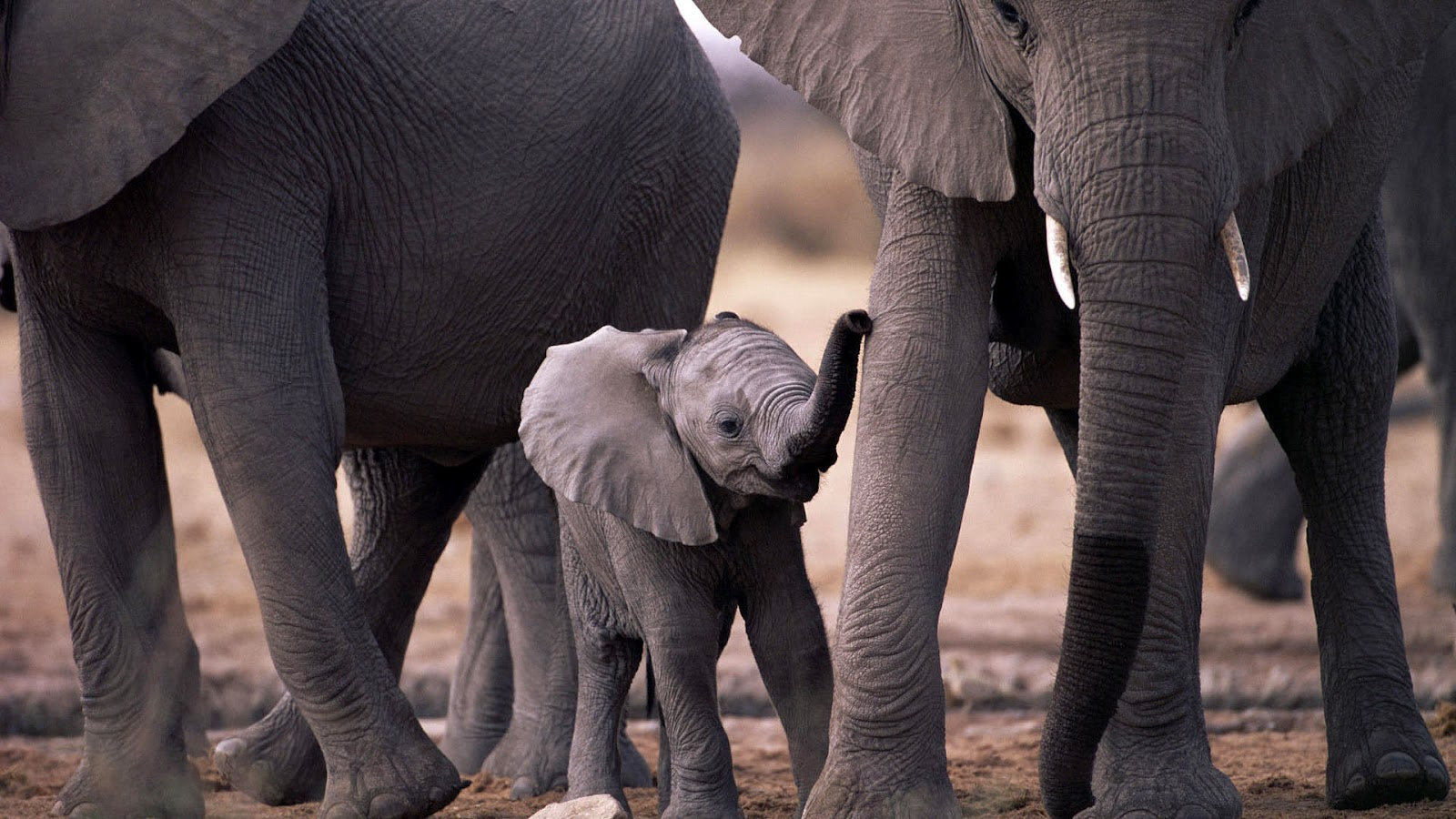 hd elephants wallpapers and photos | hd animals wallpapers