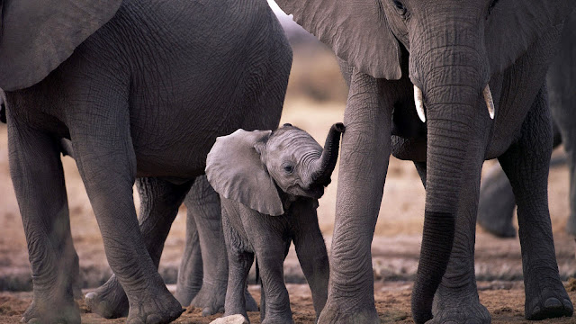 HD animal wallpaper with a baby elephant in between a group of elephants maybe family