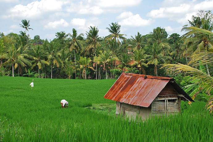 Campo de arroz y cabaña