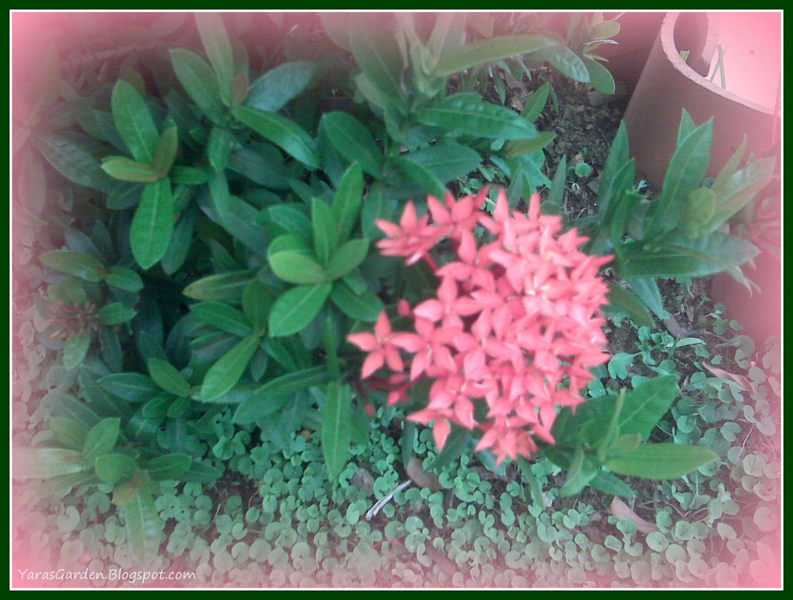 Yarasgarden ixoras enanas - Plantas muy resistentes al sol ...