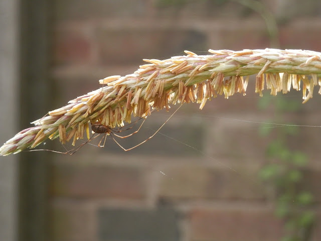 Spider on Sweetcorn. Garden, September 2015.  secondhandsusie.blogpsot.co.uk #autumngarden #ukgarden #growyourown #ukblogger