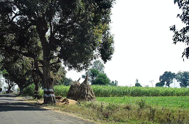 sugarcane growing next to road