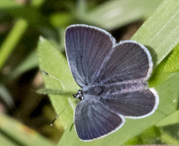 Butterfly, Small Blue, Cupido minimus.  Male.  Hutchinson's Bank, 14 June 2012.