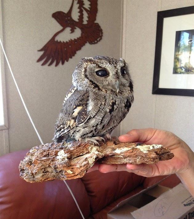 Zeus owl