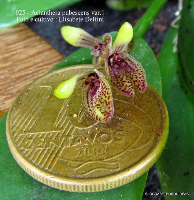 Pleurothallis pubescens