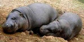 Hipopótamos durmiendo