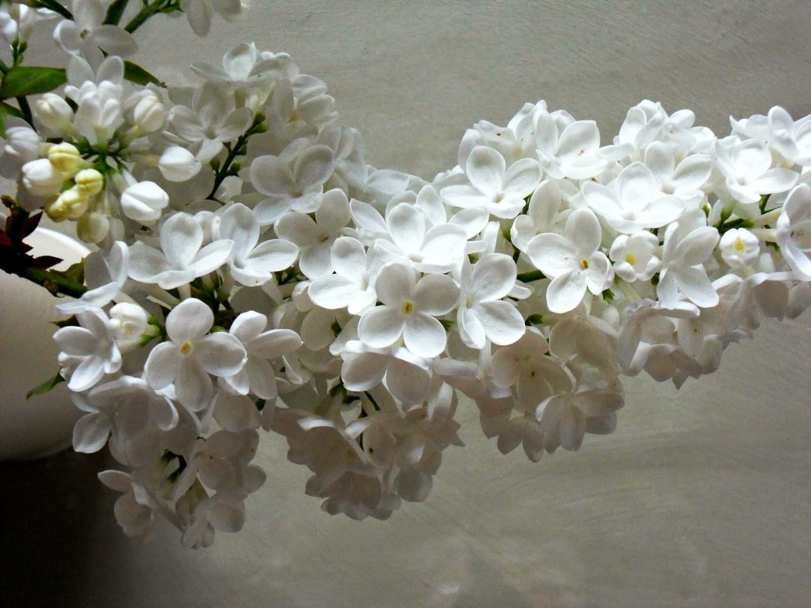 Gillyflower White Lilac