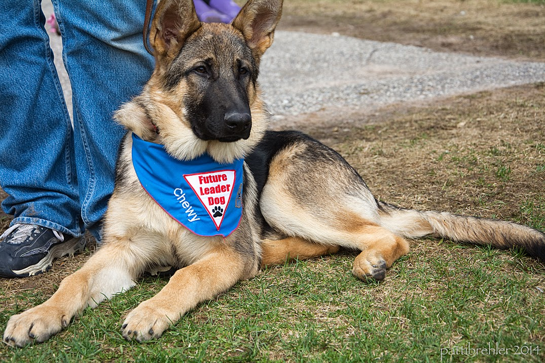 A young german shepherd is lying on grass next wearing the blue Future Leader Dog bandana. He is facing the camera and is next to someone standing wearing blue jeans, only the lower legs are visible.