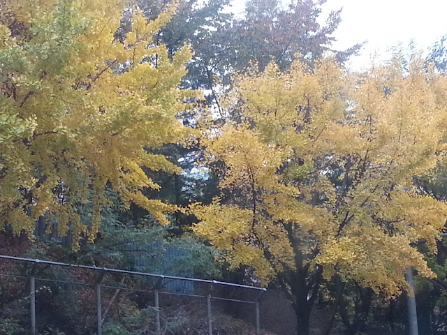 Yellow trees at Seoul