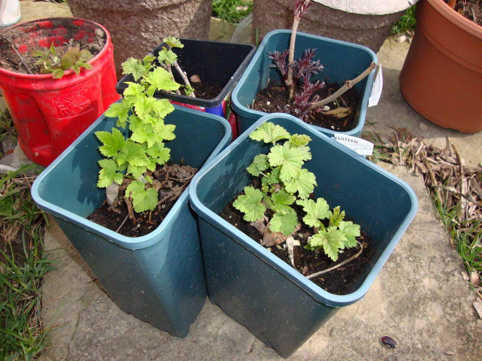 Как посадить смородину пошаговая инструкция 63