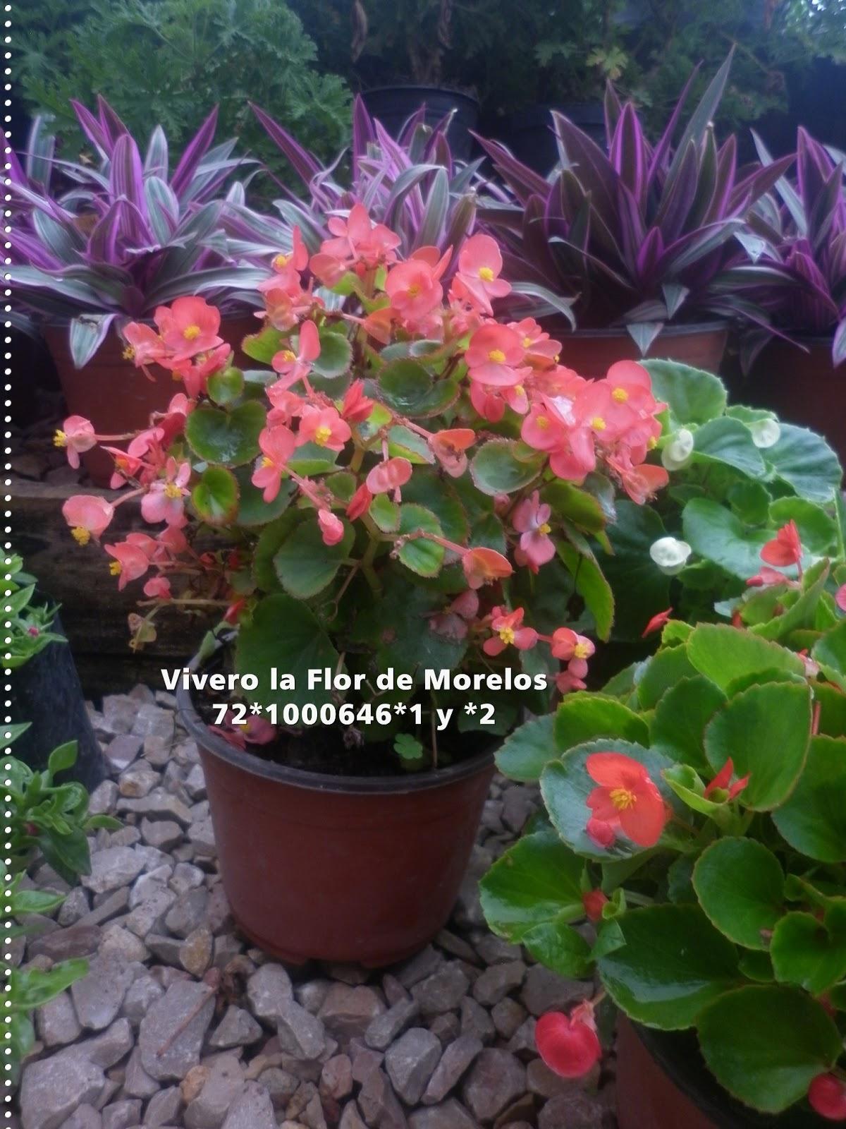 Vivero la flor de morelos flores temporada de diversas for Plantas temporada